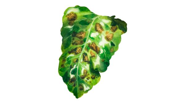 Бактериальная пятнистость листьев сахарной свёклы
