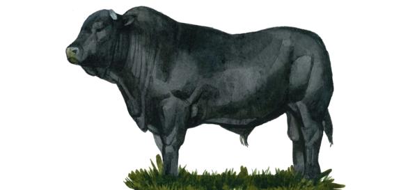 Дракенсбергер – порода коров