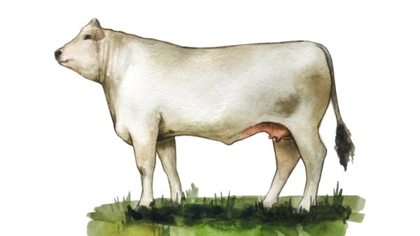 Кианская порода коров