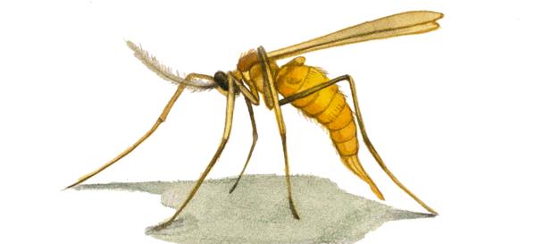 Люцерновый цветочный комарик