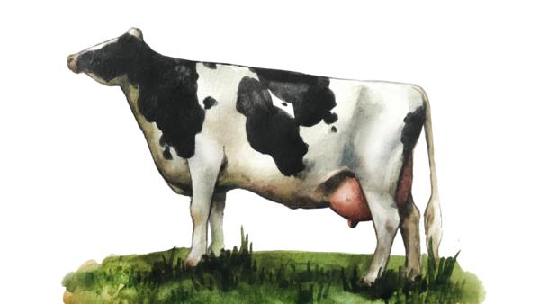Сибирячка – новая порода коров