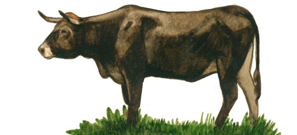 Мирандеса – порода коров