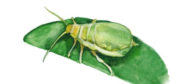 Зеленая яблонная тля
