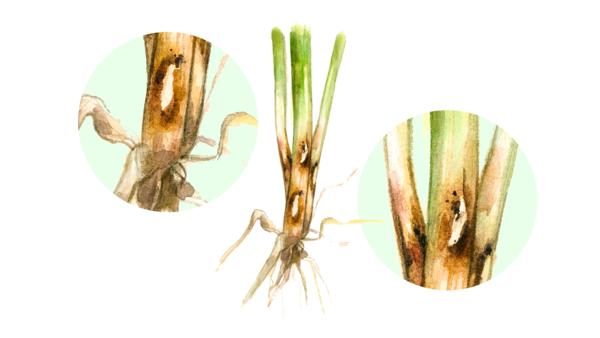 Гибеллиноз пшеницы