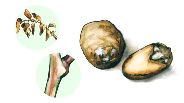 Фузариозное увядание картофеля (трахеомикоз)