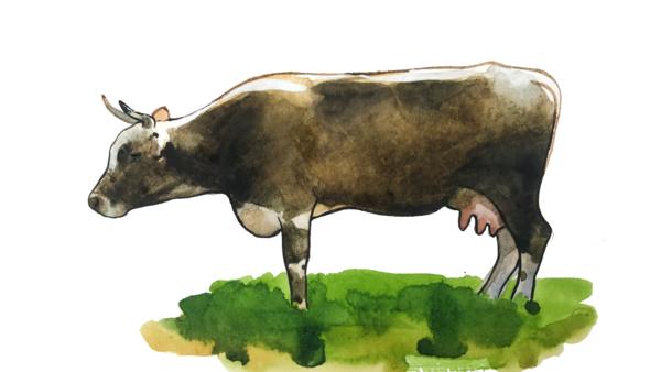 Алатауская порода коров