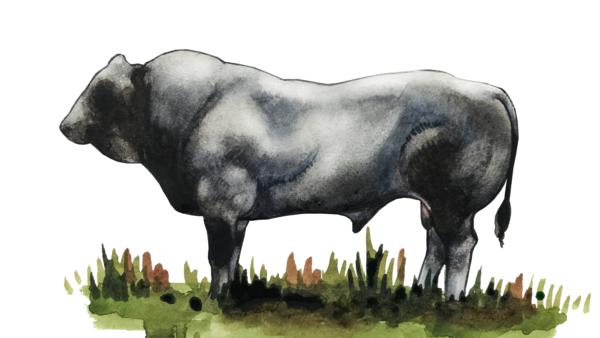 Пьемонт – порода коров