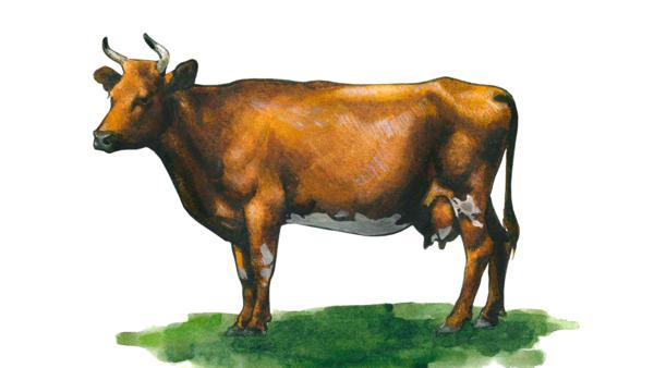Красная тамбовская порода коров