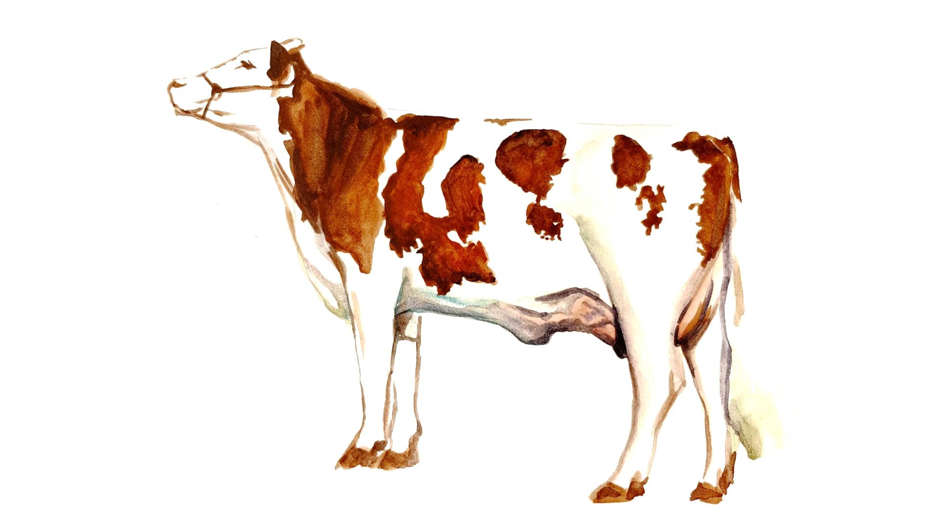 Монбельярдская порода коров