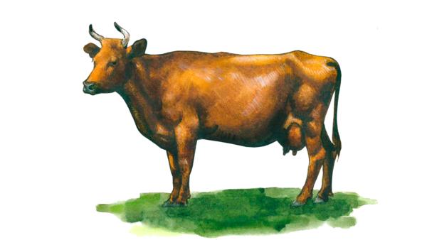 Красная эстонская порода коров