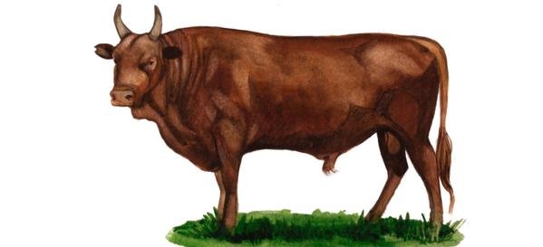 Калмыцкая порода коров
