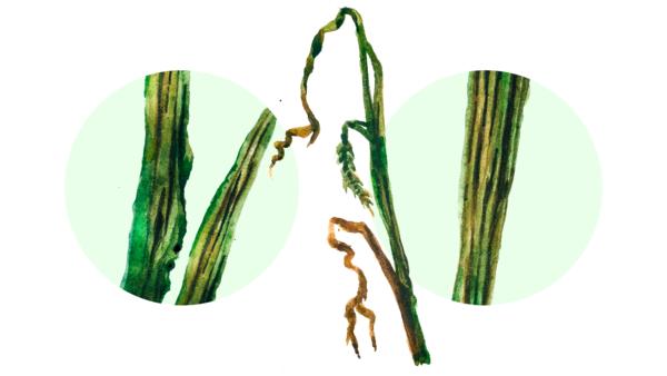Стеблевая головня пшеницы
