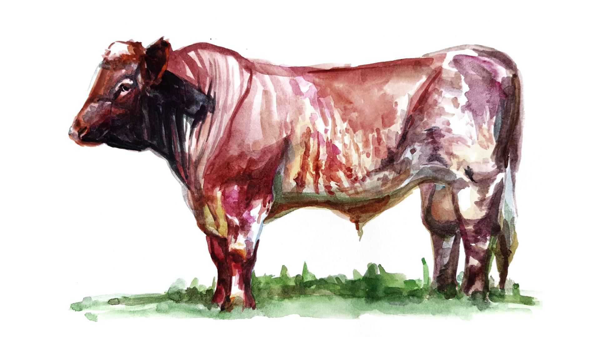 Шортгорнская порода коров