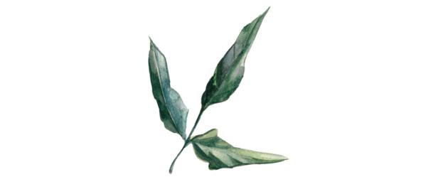 Bean leaf roll virus (BLRV)