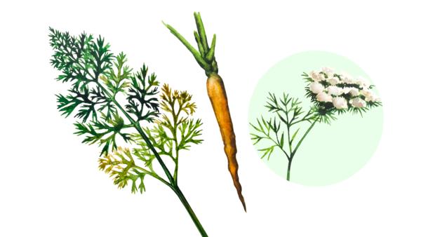 Морковь дикая