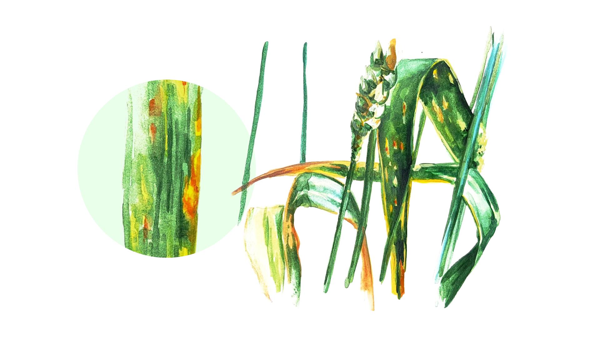 Пиренофороз (желтая пятнистость)