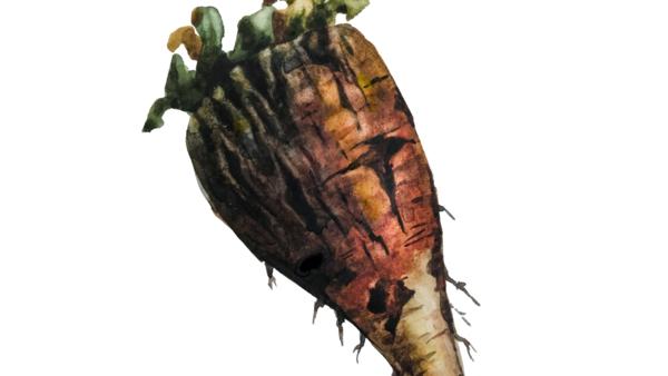 Бурая гниль корнеплодов