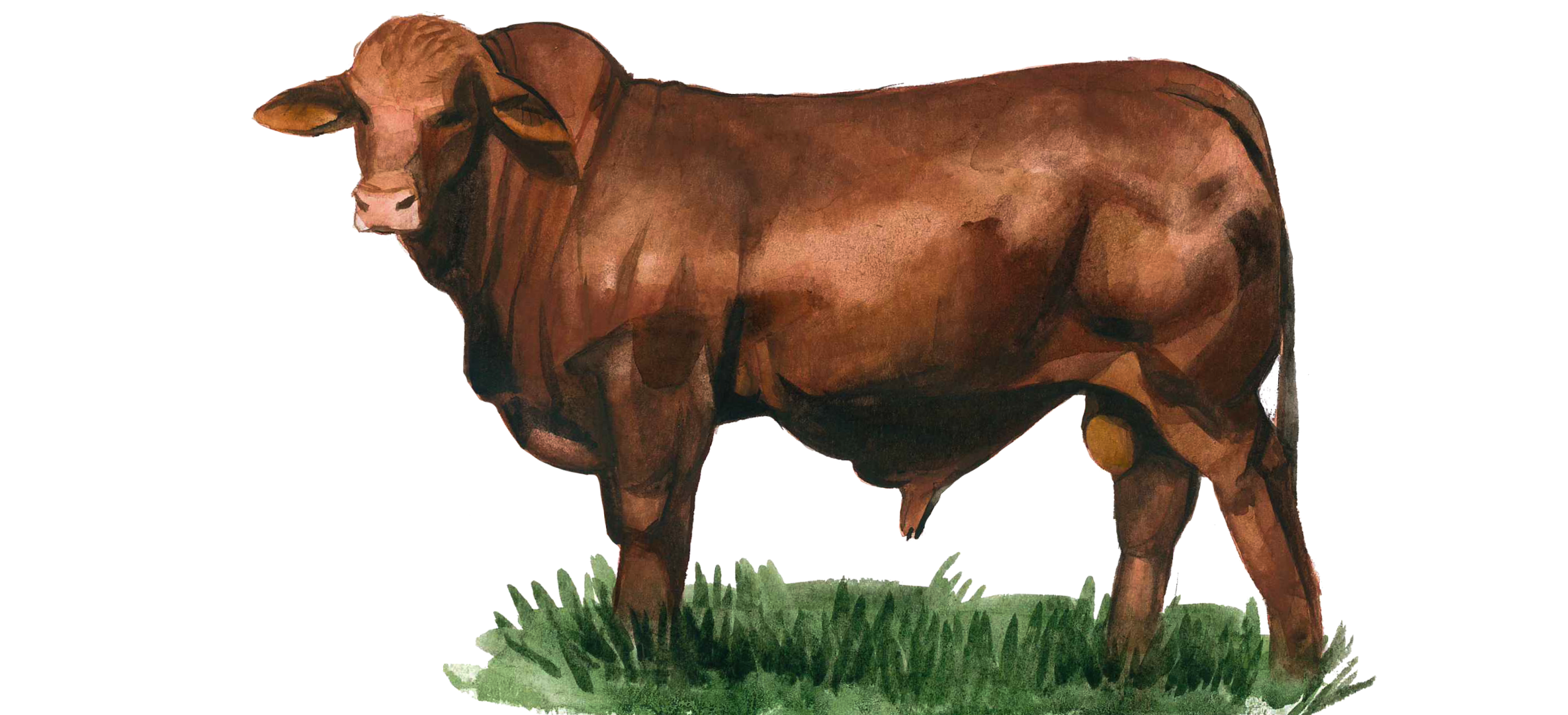 Порода коров Санта-Гертруда