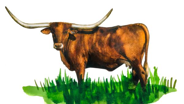 Техасский лонгхорн - порода коров