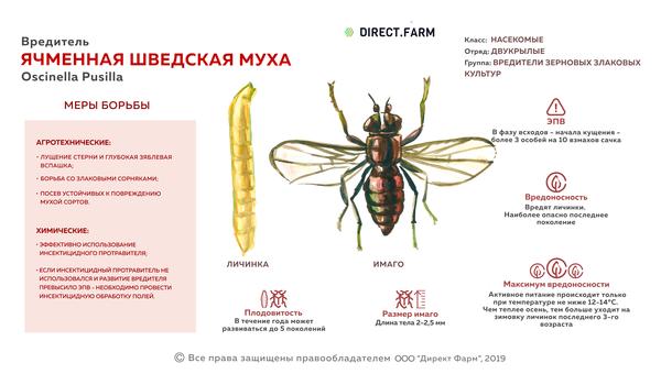 Ячменная шведская муха
