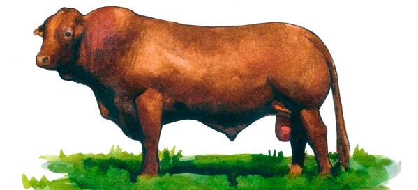 Линкольнская красная порода коров