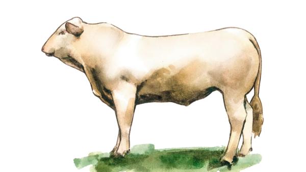 Аквитанская порода коров