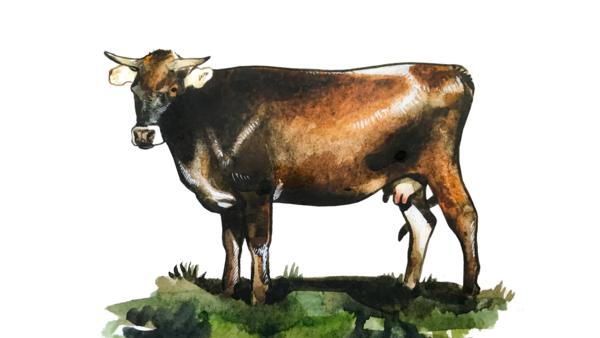 Кавказская бурая порода коров