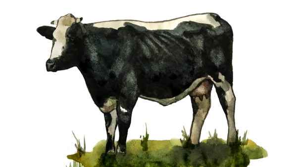 Тагильская порода коров
