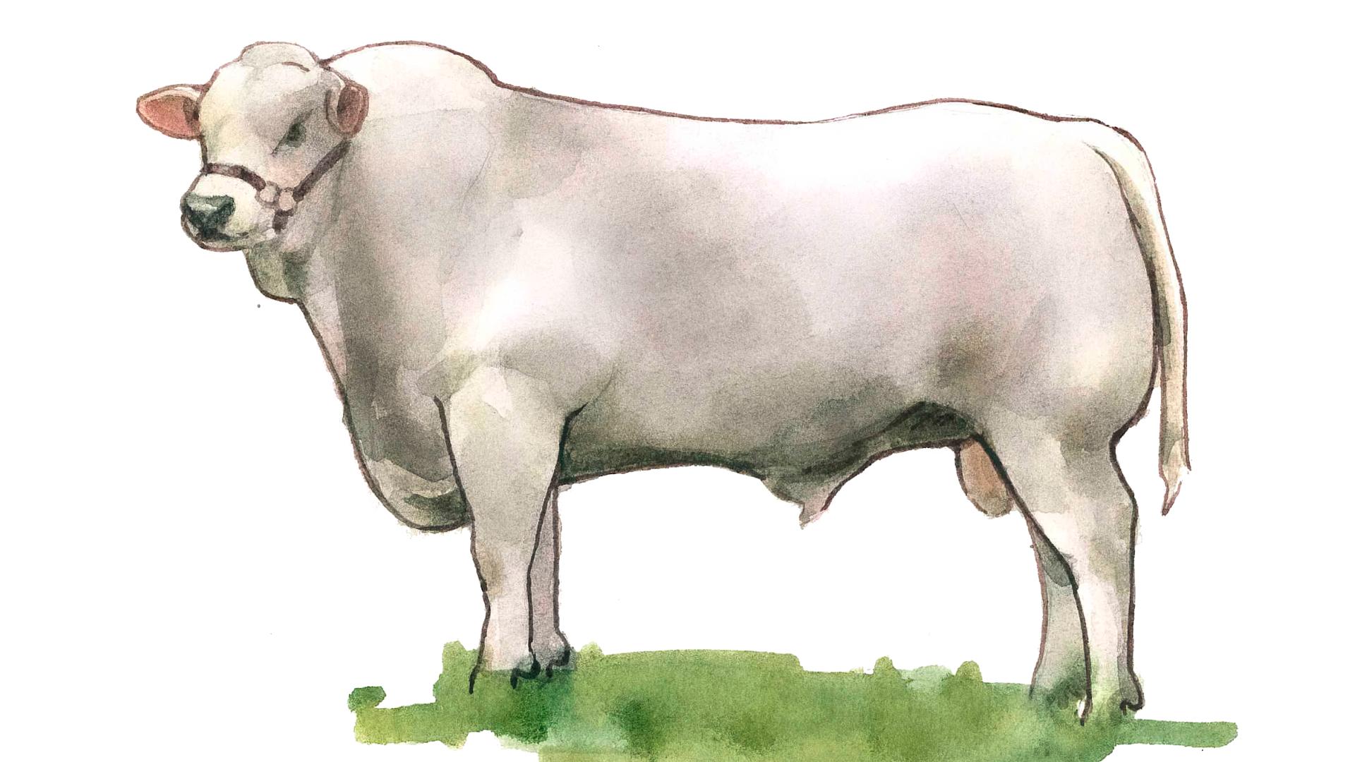 Маркиджанская порода коров