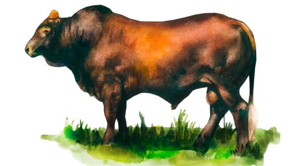 Бельмонт Ред – порода коров