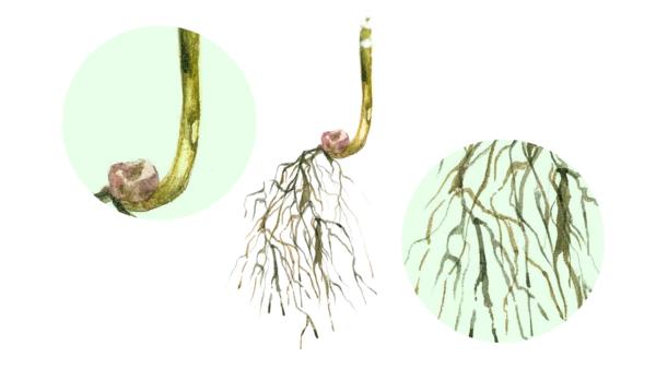Гельминтоспориозная корневая гниль