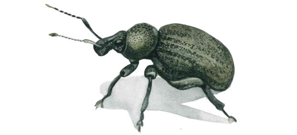 Люцерновый долгоносик большой, Скосарь люцерновый — Otiorhynchus ligustici