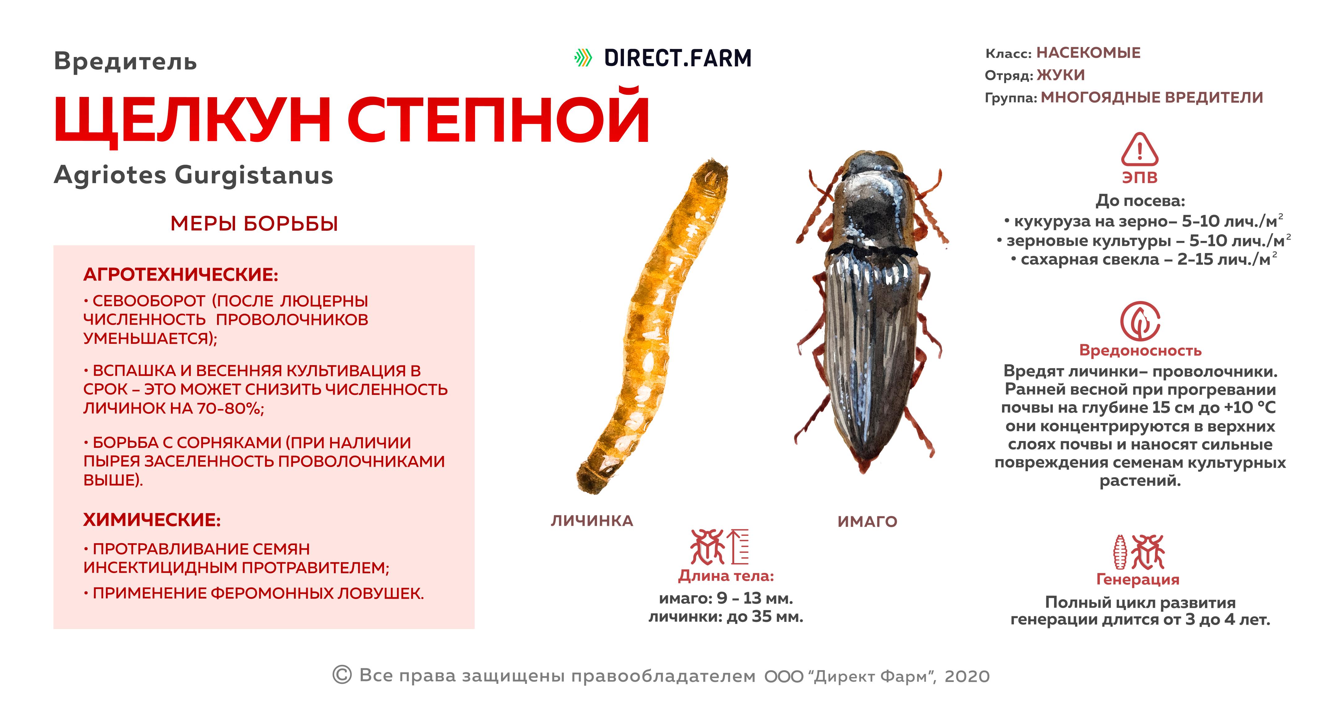Щелкун степной (проволочник)