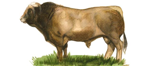 Порода коров Обрак