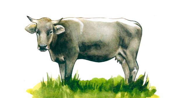 Лебединская порода коров
