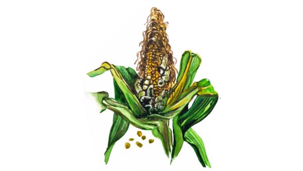 Пузырчатая головня кукурузы