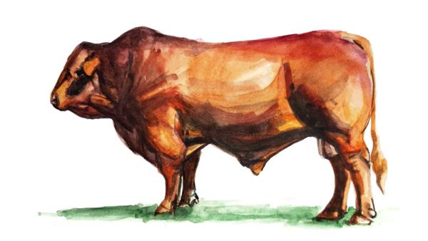 Салерская порода коров