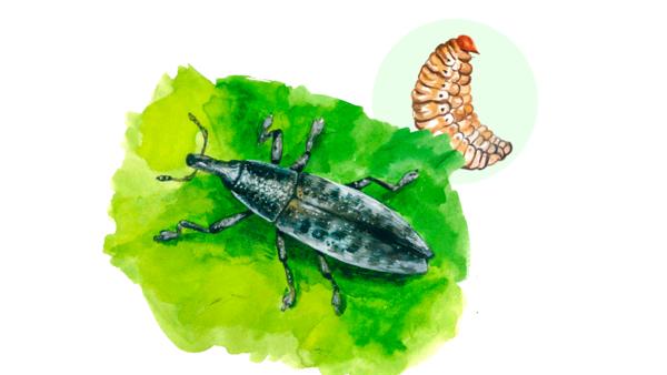 Свекловичный долгоносик-стеблеед