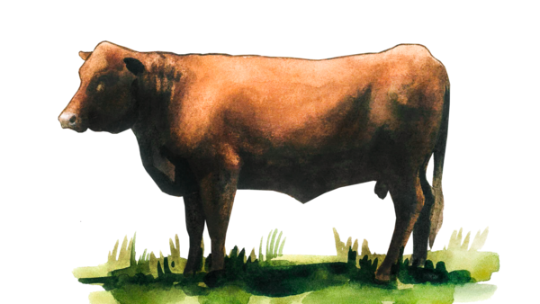 Девонская порода коров