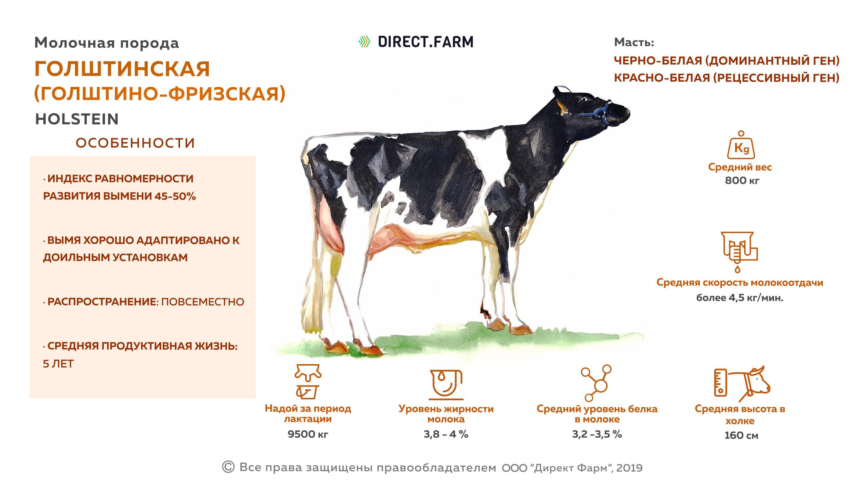 Голштинская порода (голштино-фризская) коров