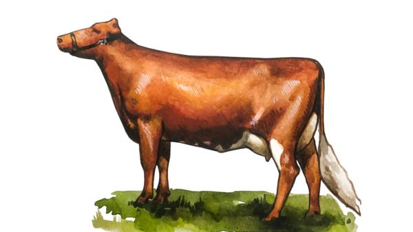 Шведиш ред - порода коров