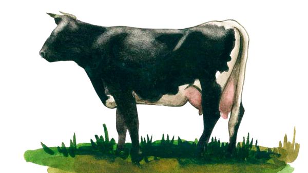 Глостер - порода коров