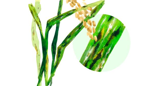 Церкоспороз риса