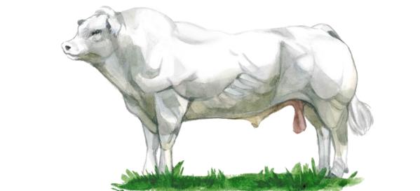 Бельгийская голубая порода коров