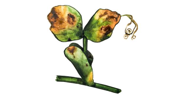 Пероноспороз (ложная мучнистая роса) гороха