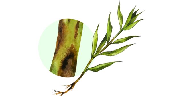 Полиспороз (ломкость стеблей) льна