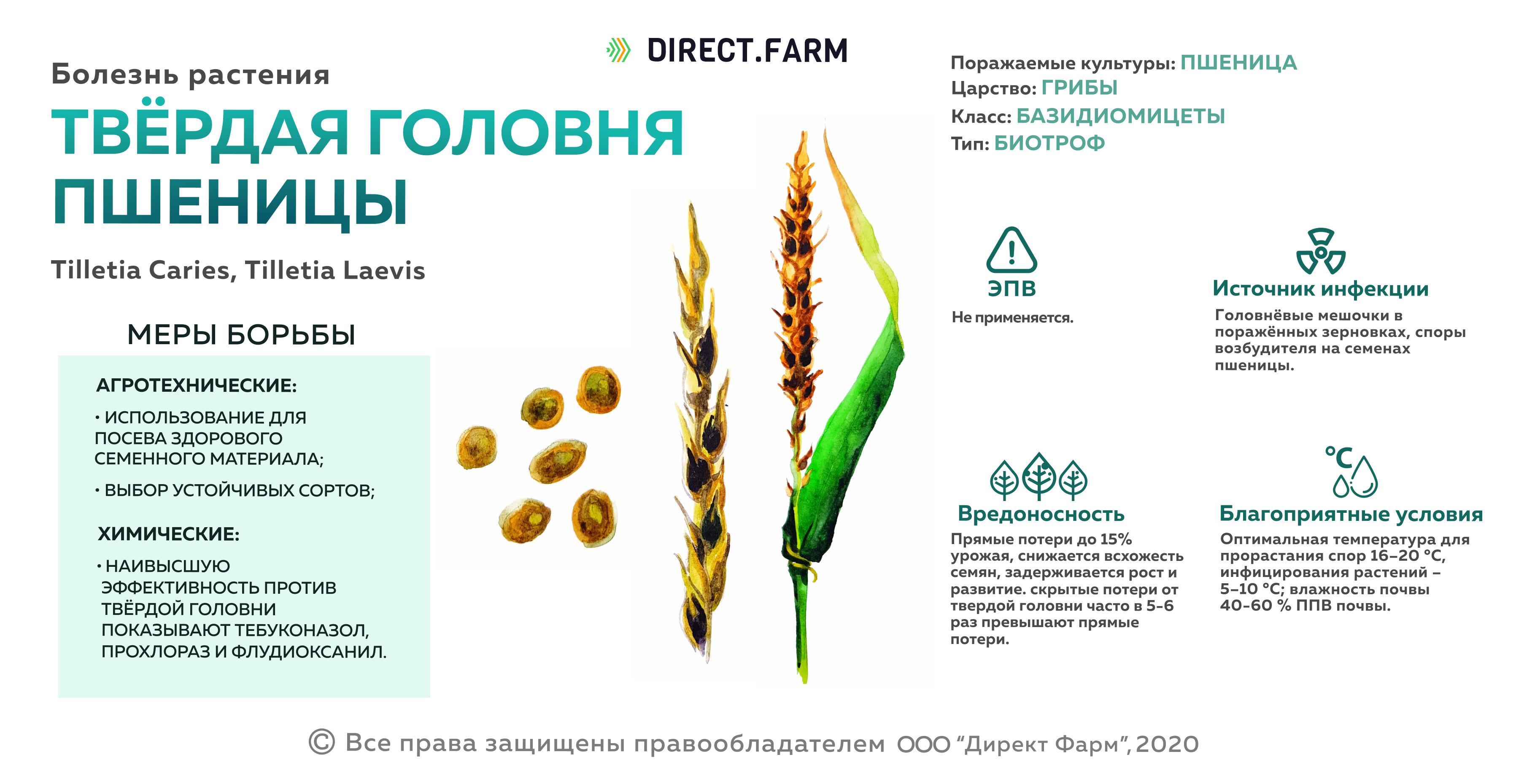 Твердая головня пшеницы
