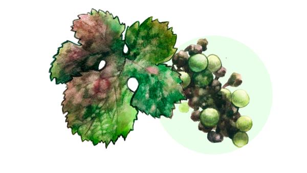Оидиум (настоящая мучнистая роса винограда)