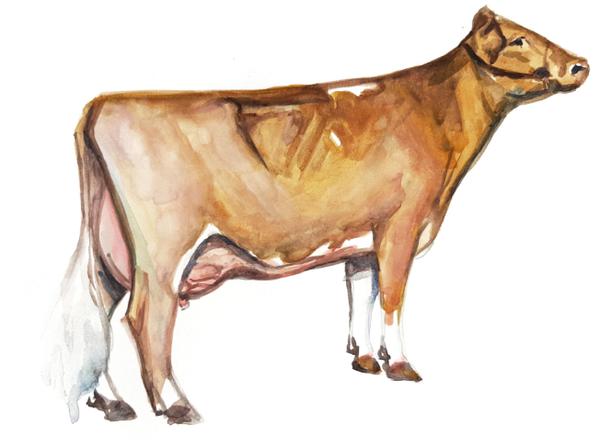 Гернзейская порода коров