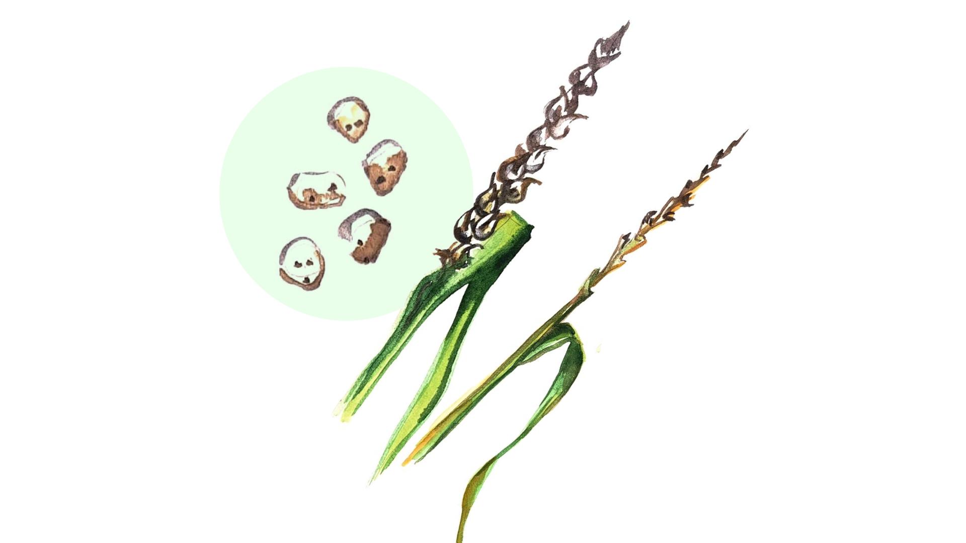 Пыльная головня пшеницы